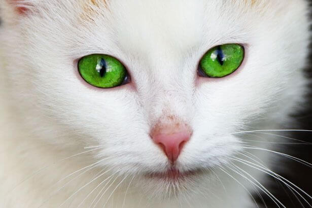 Gorgeous cat with green eyes.